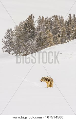 A lone coyote in the snow at Yellowstone National Park during the winter