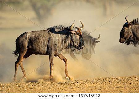 Blue wildebeest (Connochaetes taurinus) in dust, Kalahari desert, South Africa