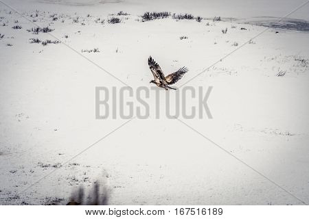 Hawk flying through the air during a snowstorn at Yellowstone National Park