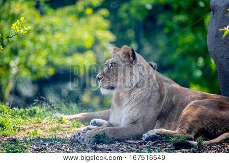 Lioness or Panthera leo resting in shade of tree