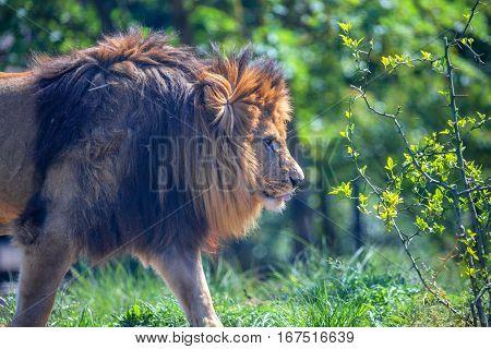 Close-up of moving lion or Panthera leo