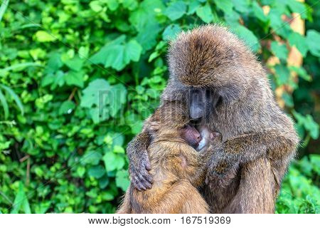 Female of olive baboon or Papio anubis breastfeeds its baby