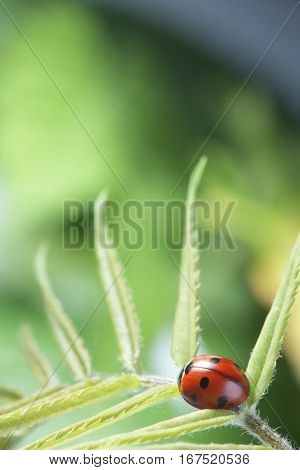 red ladybug on green leaf, ladybird creeps on stem of plant in spring in garden in summer