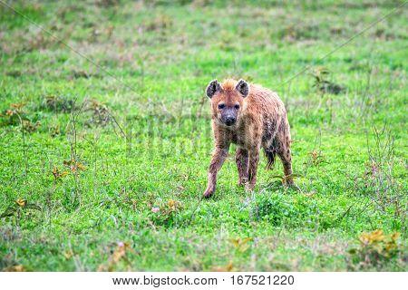Spotted hyena or crocuta is walking in savanna