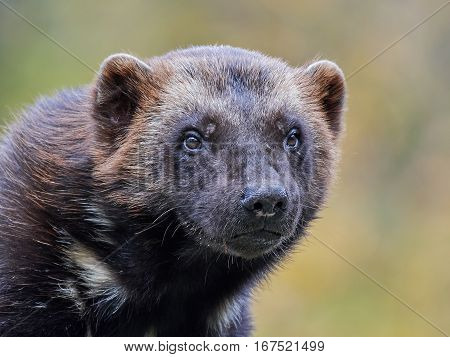 Closeup portrait of the Wolverine with vegetaion in the background