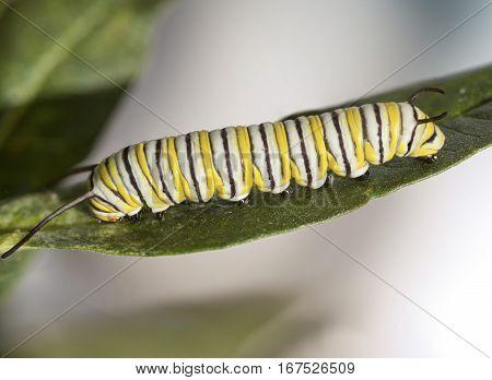 A Monarch Butterfly caterpillar climbs across a milkweed leaf.
