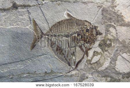 prehistoric fossil fish enclosed in stone rock