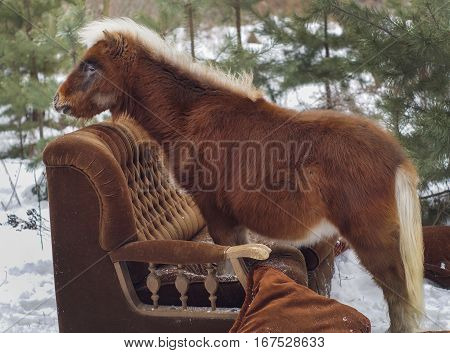 red pony with white mane and tail sitting on the sofa in the forest on the background of Christmas trees in the winter