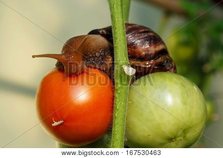 the big Achatina snail is on a tomatoes