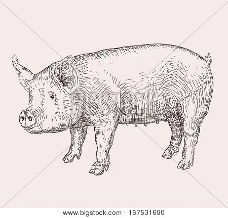 Hand drawn realistic vector illustration of pig