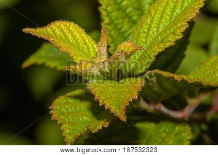 Young shoots of raspberries in the garten at Spring