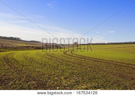 Green Winter Wheat