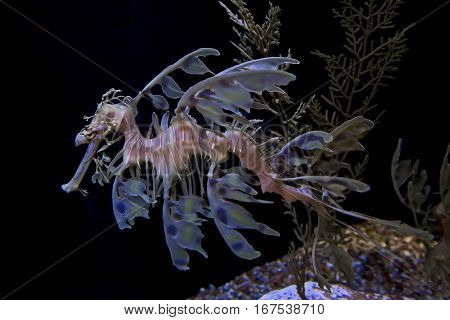 A sea dragon floats peacefully and lazily in its habitat.
