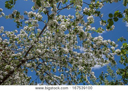 White flower Apple-tree Malus in the garden