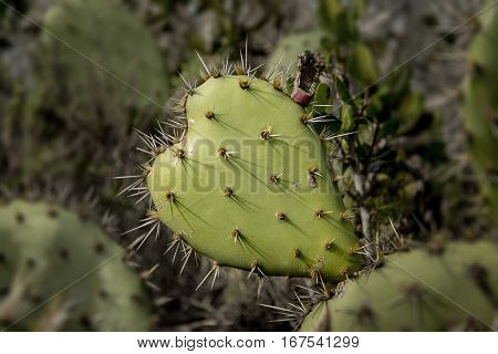 A heart-shaped cactus makes for a prickly Valentine.