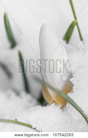 White crocuses growing up through the snow in early spring close-up