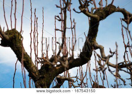 fruit tree not yet pruned in winter