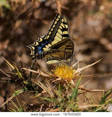 a swallowtail rest on a thistle in sardinia