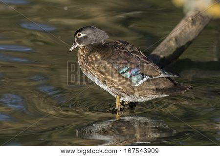 Acorn Duck (aix Sponsa) On The River Saar