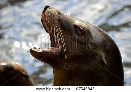 A Sea lion Latin name zalophus californianus