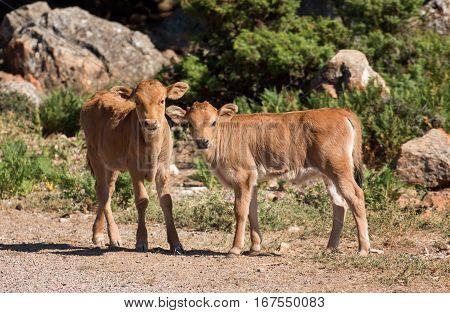 2 young calves in the wild near Codula Sa Mela Sardinia