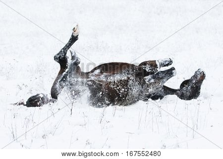 A brown horse lying down playing in the snow