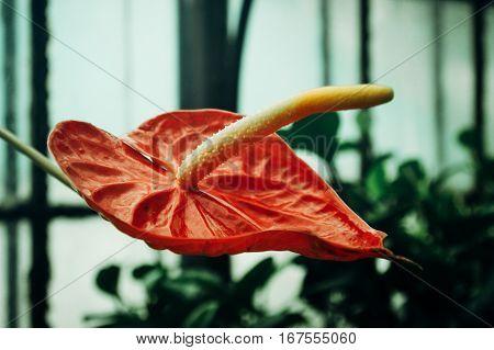 Red Big Cala In Greenhouse, Amazing Plant In Botanic Garden