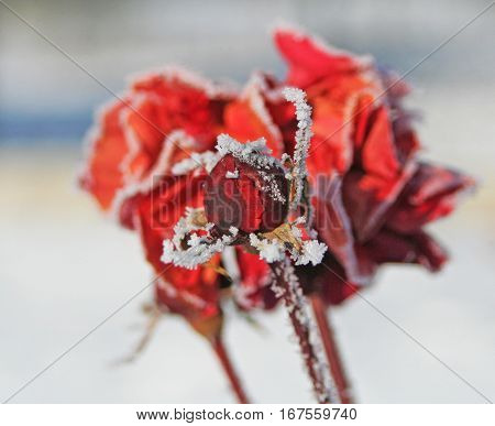 Flowering Red Rose Frozen In Winter Time