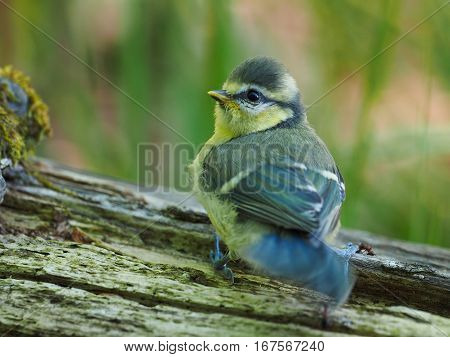 Very young Blue Tit ( Cyanistes caeruleus ) poster