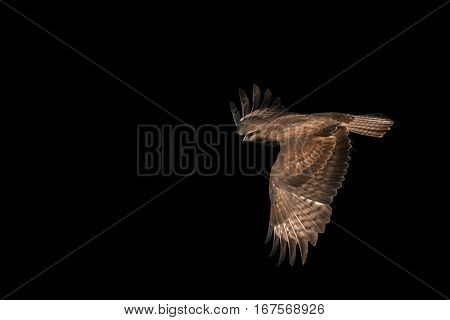 common buzzard Buteo buteo isolated on blackpredator bird in flight a bird of prey opened wing