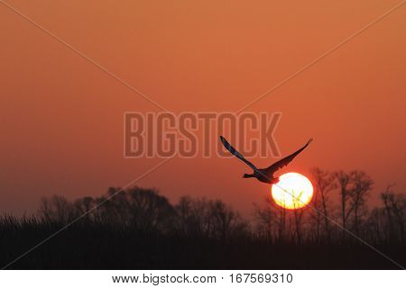 mute swan flying at sunrise over spring lakegreat white bird wings swan spring migration