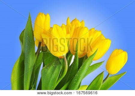 Yellow tulips with green leaves on blue background. Spring flowers close up. Tulips with water drops isolated on blue background. Dew on yellow tulips.