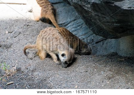 Two meerkats searching for food in the ground.