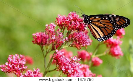 Monarch Butterfly (Danaus Plexippus) On Pink Flowers