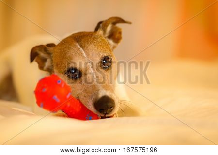 Dog In Bed With Ball Or Toy