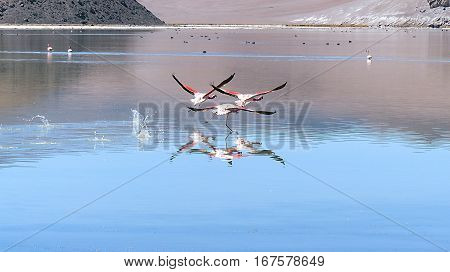 Three pink Andean flamingos taking off from a turquoise salt lake.