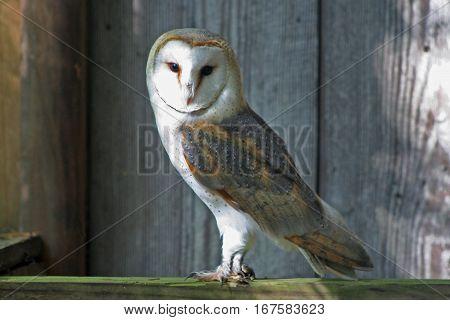 Barn Owl sitting on a fence post