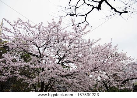 In the picture we can see beautiful white flowers on a tree. A clear bright sky and  few trees can be seen in the background.