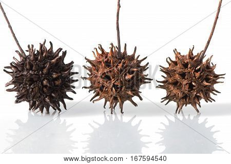 Three Sweet Gum Tree Seed Pods