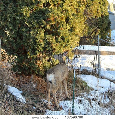 Closeup of deer eating on cedar tree in backyard on a sunny winter day. Snow trees sunlight fence posts and foliage near deer.