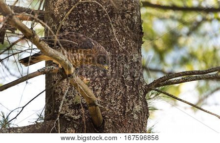 Predatory, Red-Tail Hawk.  Lands on tree branch, eats a frog he caught.  Dramatic and graphic depiction of predatory bird eating his prey, flesh tearing, nature, natural food chain.