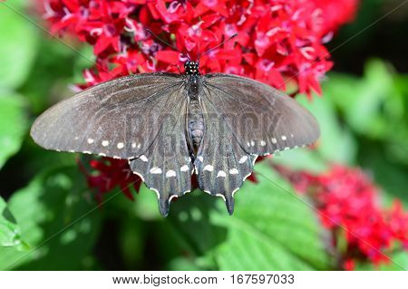 Pipewine Swallowtail Butterfly On The  Flower