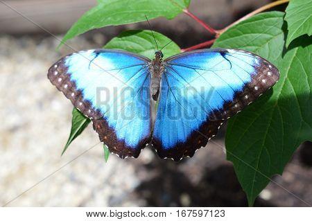 Blue Common Morpho Butterfly