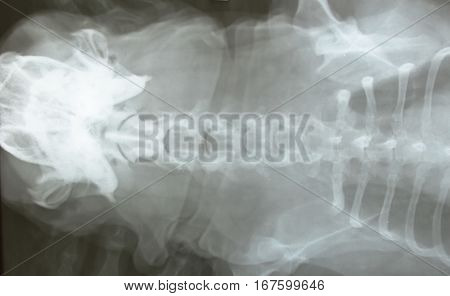 x-ray film of dog head and body
