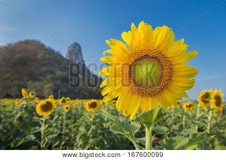 Sunflower In Field With Mountain And Blue Sky Background