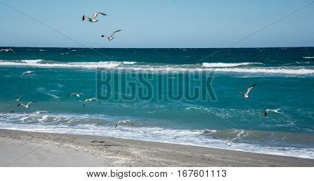 Ring billed gulls flying over the waves