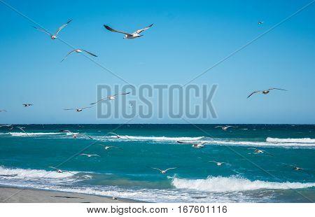 Ring billed gulls flying over the ocean