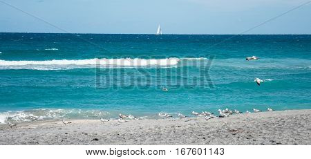 Ring billed gulls and terns feeding on the beach with a sailboat on the horizon