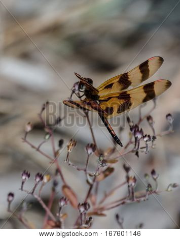 A Halloween Pennant dragonfly showing the details of it wings
