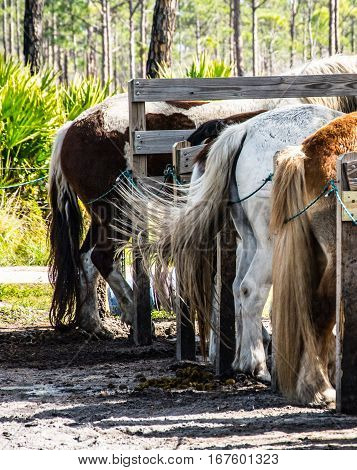 horses tails in a row with one swishing
